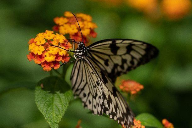 Papillons en liberté 2018 Jardin botanique de Montréal (c) Stéphane Vaillancourt