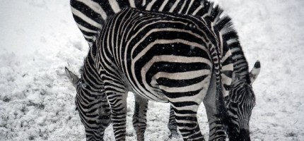 Zèbres - Zoo de Granby QC - 2010 (Stéphane Vaillancourt)